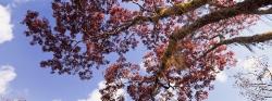 079A_LZmMut_302 Musompa & Sky, Brachystegia floribunda