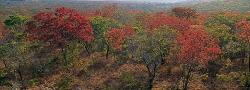010_LZmMut_224 Miombo Woodland in New Leaf