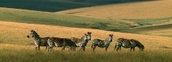 027_LMw_22 Crawshay's Nyika Zebra & High Plateau